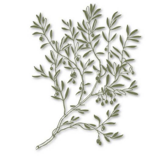 wild olive branch